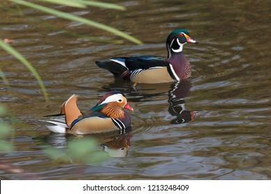 Mandarin duck and wood duck at Burnaby Lake  BC Canada.