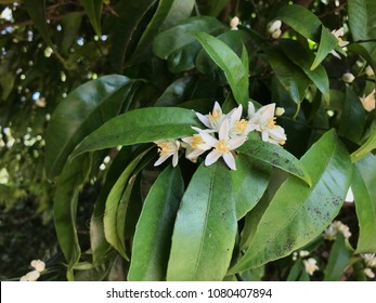 Mandarin orange in bloom with leaves infected by sooty mold,  which grows particularly well on plants that produce a sugary exudate, if they are infested by honeydew secreting insects.