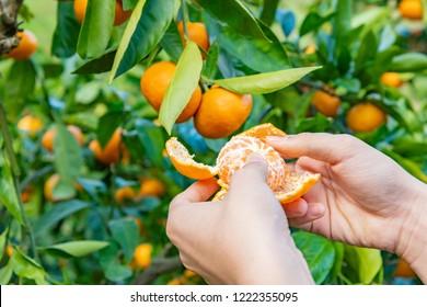 Mandarin orange hunting