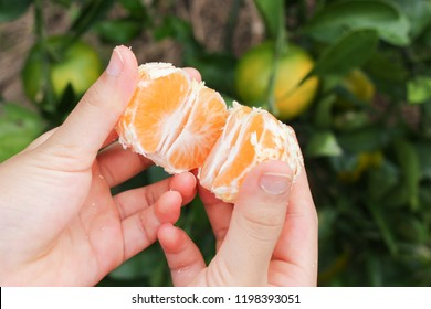 mandarin orange on the hand in mandarin orange plantation