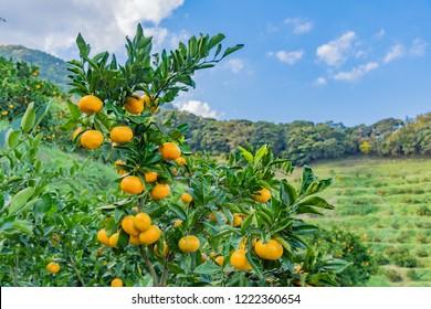 Mandarin orange plantation