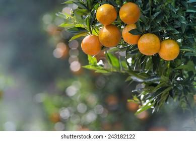 Mandarin Oranges on tree