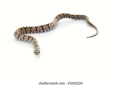 Mandarin Rat Snake (Elaphe Mandarina)