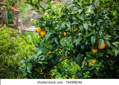 mandarin tree. concept of the growth of an orange tree. background, orange tree in the yard
