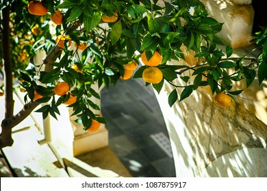 Mandarin tree with fruits grows near stone wall with arch.