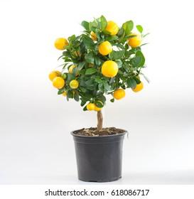 Mandarin tree in a pot