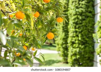 mandarin tree with ripe fruits