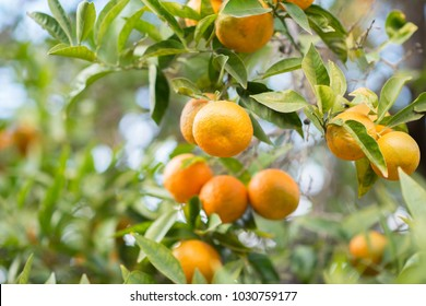 Mandarin tree with ripe fruits. Mandarin orange tree. Tangerine. Branch with fresh ripe tangerines and leaves image. Satsuma tree picture.