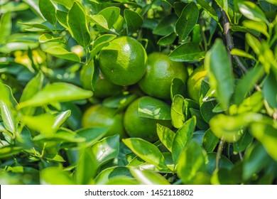 Mandarin tree with ripe fruits. Mandarin orange tree. Tangerine. Branch with fresh ripe tangerines and leaves image. Satsuma tree picture, soft focus