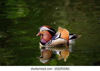 Mandarinente  Ente Duck