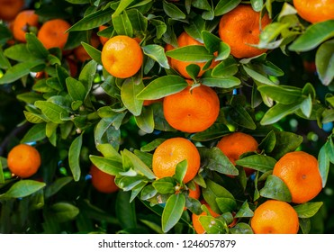 Mandarines. Ripe Mandarines hanging on a  tree. Growing Mandarines