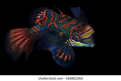 Mandarinfish (aka Mandarin Dragonet, Synchiropus splendidus) on Black Background. Moalboal, Philippines