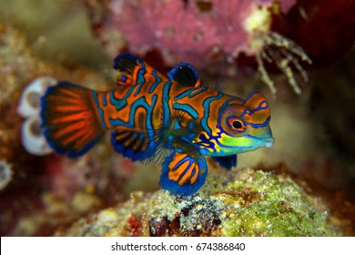 Mandarinfish or Mandarin dragonet ( Synchiropus splendidus ) is close-up shot , it very small tropical fish vivid color , Sipadan island Borneo . Celebes sea, malaysia