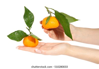 Mandarins with green leaves in the hands on the white background (Citrus reticulata)