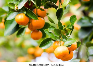 Mandarins ripened on the green tree branch in orchard