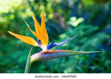 Mandela's Gold is a rare yellow form of the well-known crane flower, Strelitzia reginae. In 1996 the National Botanical Institute was granted permission to re-name it in honour of Nelson Mandela.
