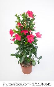 Mandevilla sanderi Summerstar Pink - plant