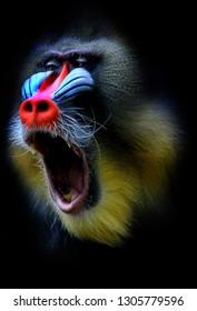 Mandril in indonesia animal park