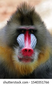 Mandril, monkey mandril, Mandrillus sphinx