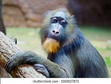 Mandrill. Baboon. This type of Primate family of monkeys. Mandrils are the largest representatives of the family of baboons.