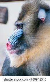 mandrill face close up, mandrill face