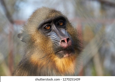 Mandrill female primate with brown eyes portrait through the zoo fence