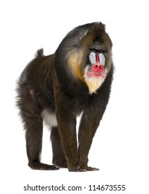 Mandrill, Mandrillus sphinx, 22 years old, primate of the Old World monkey family against white background