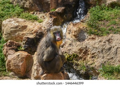 Mandrill, Mandrillus sphinx. Close up of a male mandrill is sitting against the background of a waterfall. Animal and wildlife world