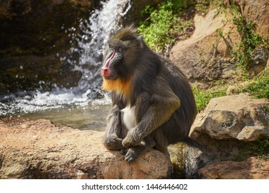 Mandrill, Mandrillus sphinx. Close up of a male mandrill against the background of a waterfall. Animal and wildlife world
