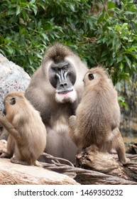 Mandrill (Mandrillus sphinx), a primate found mainly in the tropical rainforests of Cameroon, Gabon, Equatorial Guinea, and Congo.