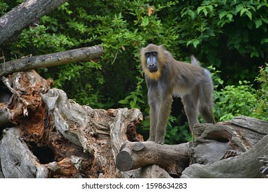 The mandrill (Mandrillus sphinx) is a primate of the Old World monkey family