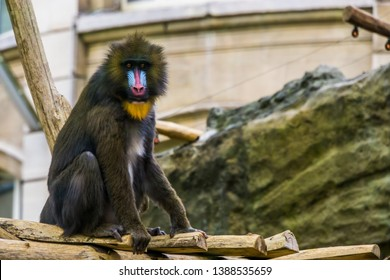 mandrill monkey in closeup, large primate with a colorful nose, vulnerable animal specie from Cameroon, Africa