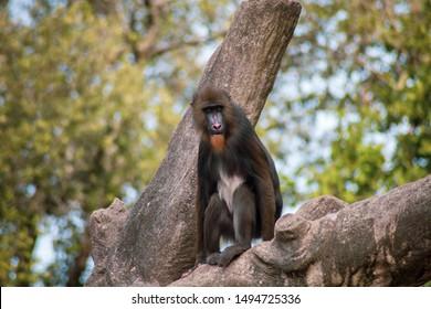 mandrill monkey in a park