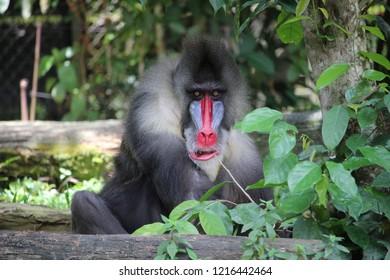 Mandrill monkey in the zoo