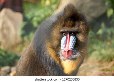 Mandrill primate portrait sitting in the sun, watching his family playing