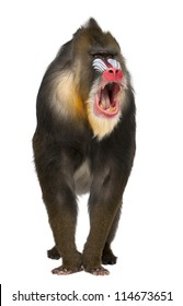 Mandrill shouting, Mandrillus sphinx, 22 years old, primate of the Old World monkey family against white background