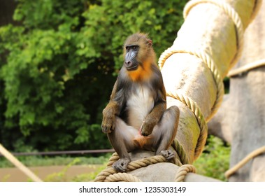 A Mandrill sitting on the trunk in nature. He playing with him penis and looking on some girls.