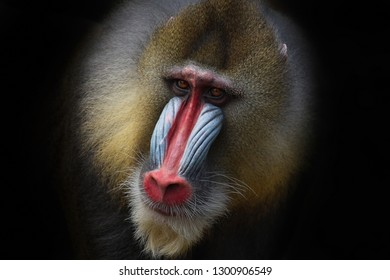 Mandrill with the striking face