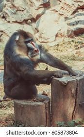 mandrill at zoo