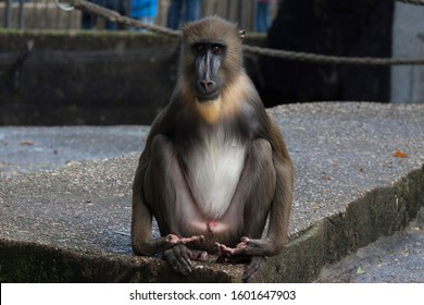 Mandrills monkeys are the largest and most colorful of the Old World monkeys. They are related to baboons and even more so to drills. Their furry head crest, mane, and beard are quite impressive.