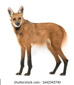 Maned Wolf, Chrysocyon brachyurus, isolated on white