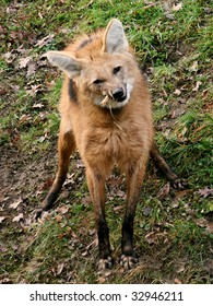 The Maned Wolf (Chrysocyon brachyurus) is the largest canid of South America. This mammal lives in open and semi-open habitats, especially grasslands with scattered bushes and trees.