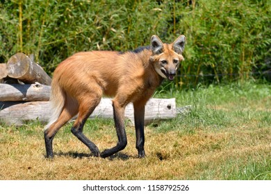 Maned Wolf (Chrysocyon brachyurus) walking on grass and seen from profile, the open mouth