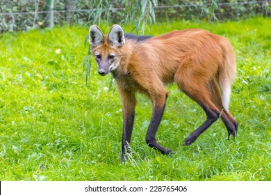 Maned wolf (Chrysocyon brachyurus) walking in the grass