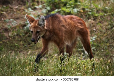 Maned wolf (Chrysocyon brachyurus). Wild life animal.