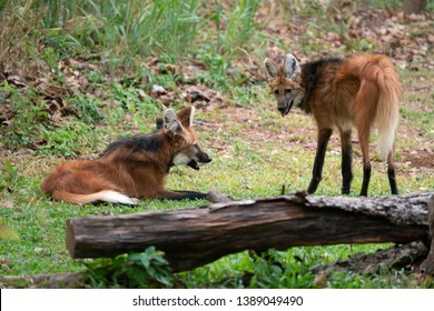 Maned wolf ( Chrysocyon brachyurus ) in zoo