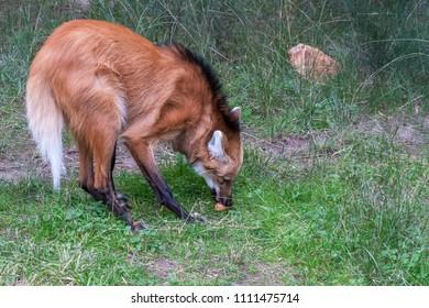 A Maned Wolf feeding on an egg