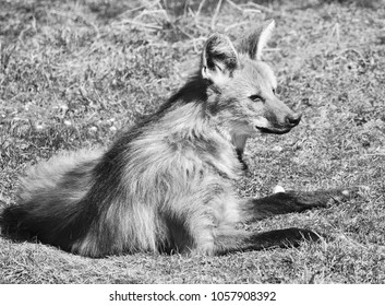a maned wolf lies in a meadow and enjoys the warming sun of spring in Black and White