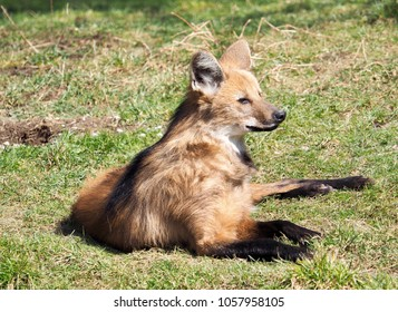 a maned wolf lies in a meadow and enjoys the warming sun of spring