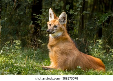 maned wolf lying in the grass in front of trees